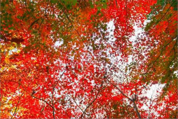 青岛崂山巨峰披红装 迎来最佳观赏期