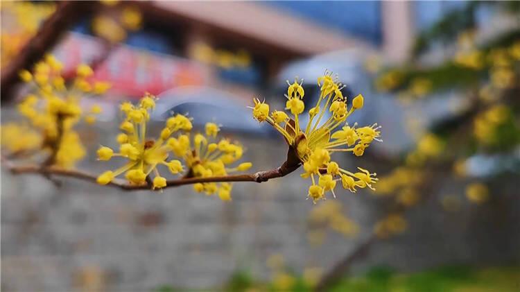 柳树泛新绿 花开满枝头