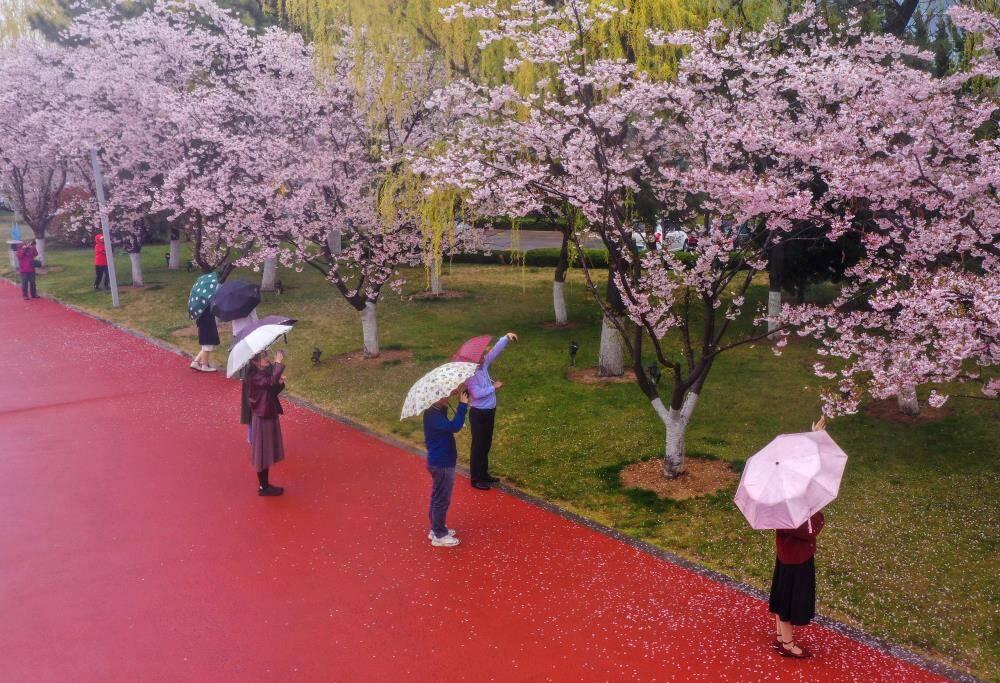 樱花红陌上 朝雨落缤纷