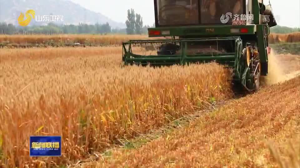 风吹麦田千层浪,又到一年麦收时!山东5985万亩小麦开镰收割