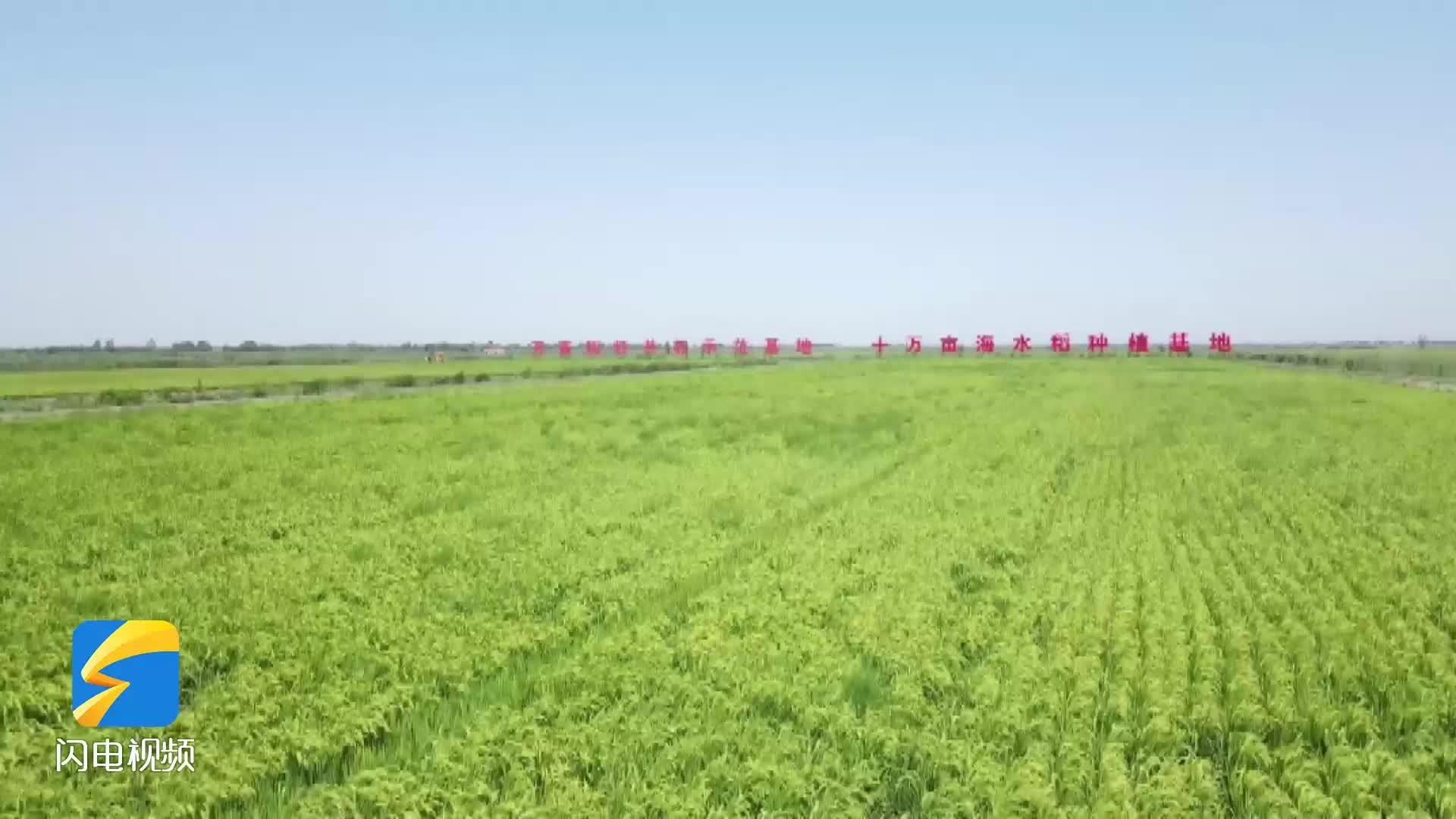 潍坊寒亭:盐碱滩上稻花香 海水稻丰收在望