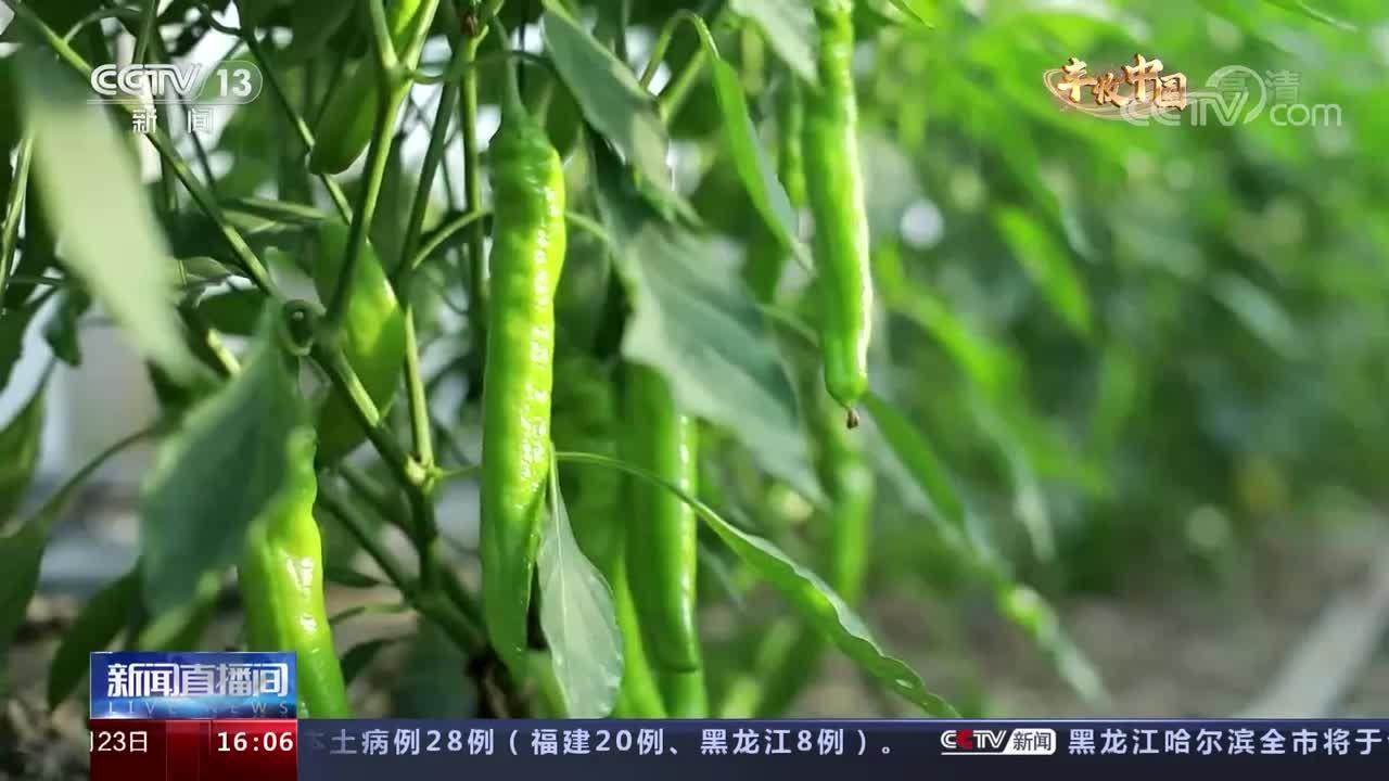 央视报道!潍坊青州10万亩辣椒喜获丰收