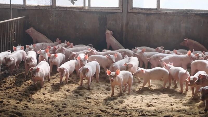 66秒| 肉价太贵?自己养猪!青岛莱西一合作社推出生猪代养服务