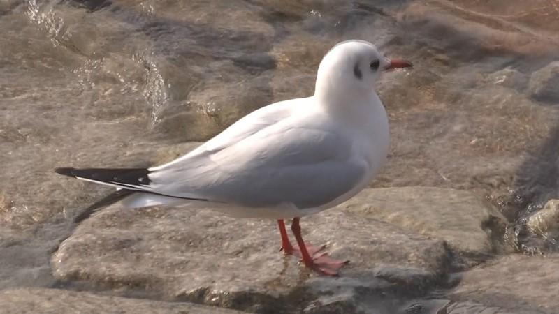 最美海鸥季!大批海鸥胶州湾越冬 万鸥翱翔等你来欣赏
