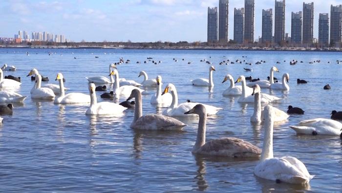"""组图丨在威海荣成,有一种幸福叫""""看着雪景赏天鹅"""""""