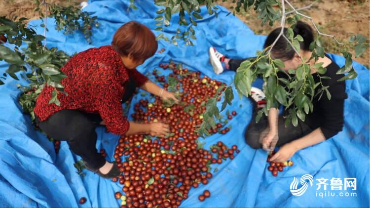 丰收喜悦丨开杆,打枣喽…宁阳3万亩成熟大枣等你来尝鲜