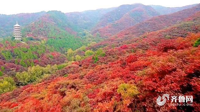 济南红叶谷迎来最佳观赏季,四千亩红叶层林尽染 如诗如画