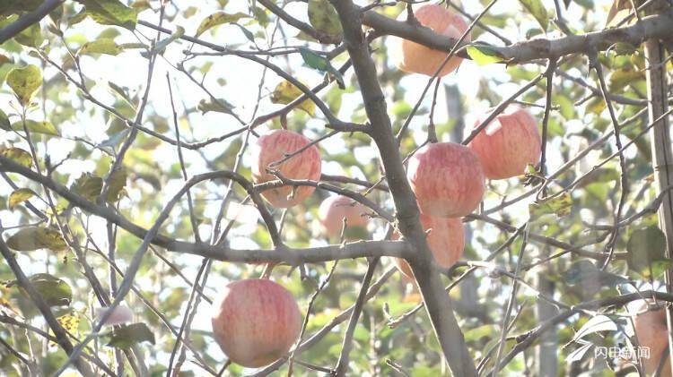 栖霞红富士苹果图片种类简单化不光会导致国内的市集死板(图2)