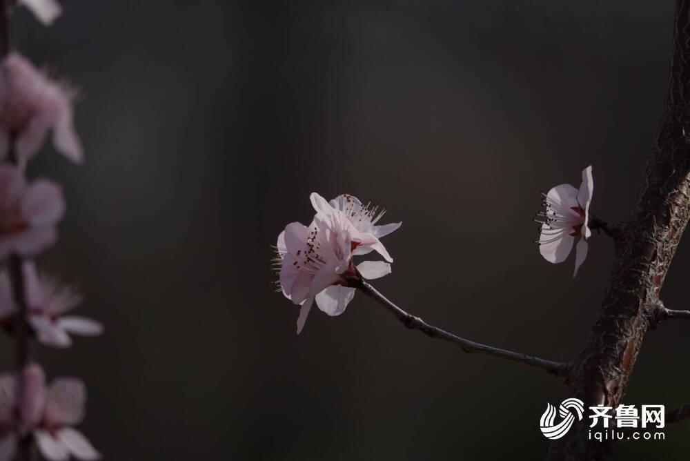 犇向春天丨济南千佛山桃花朵朵开 专业拍摄团队上线