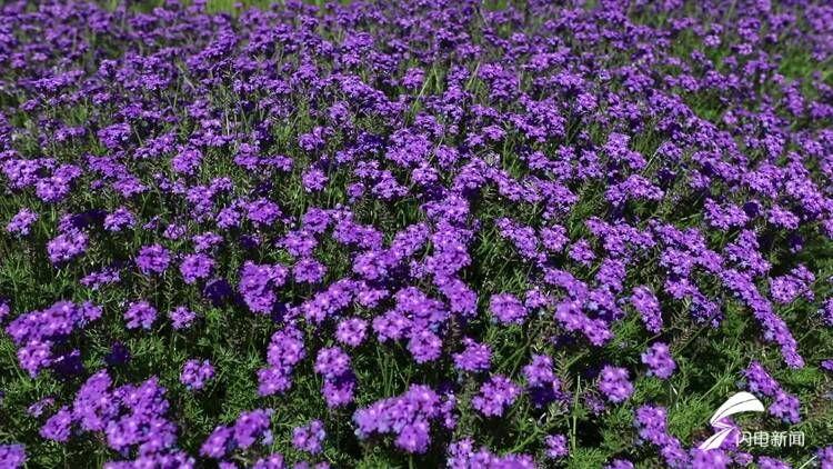聊城竟隐藏着一处紫色花海 美丽又浪漫