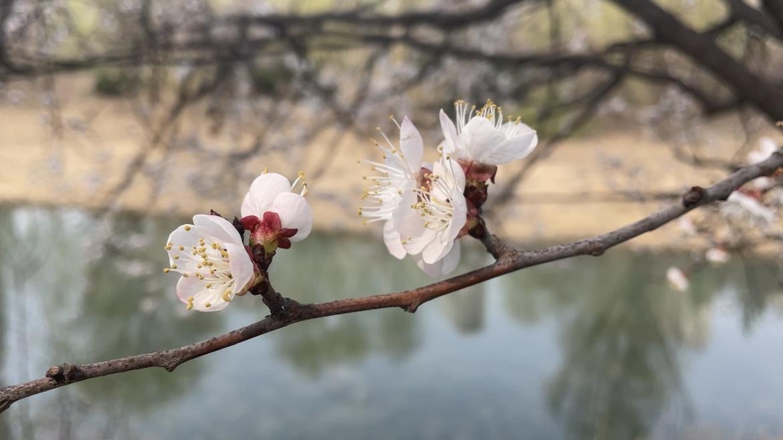 VLOG   记者打卡腊山河公园 带你感受满园杏花春色