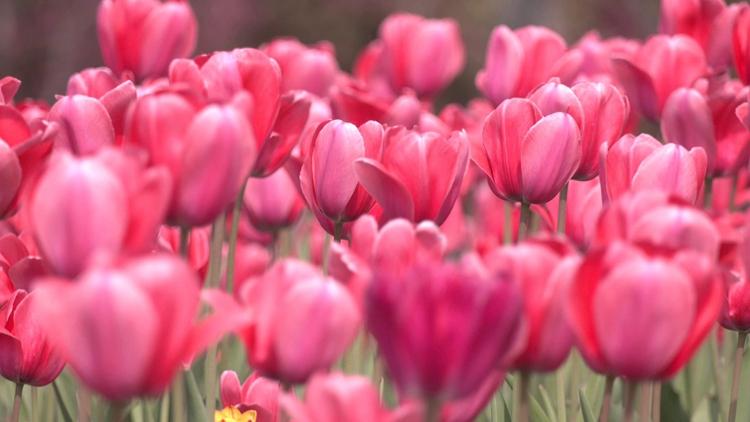 诗画山东|聊城人春天必到的打卡地!植物园郁金香花海正迷人