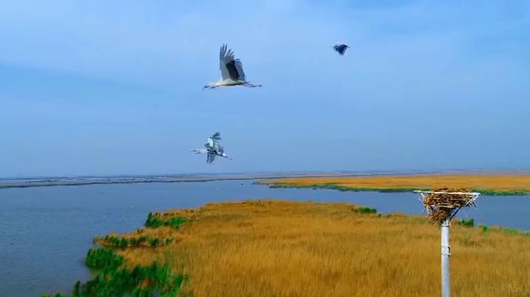 沿着高速看山东|生态修复、打通水系 珍稀鸟类安家黄河三角洲