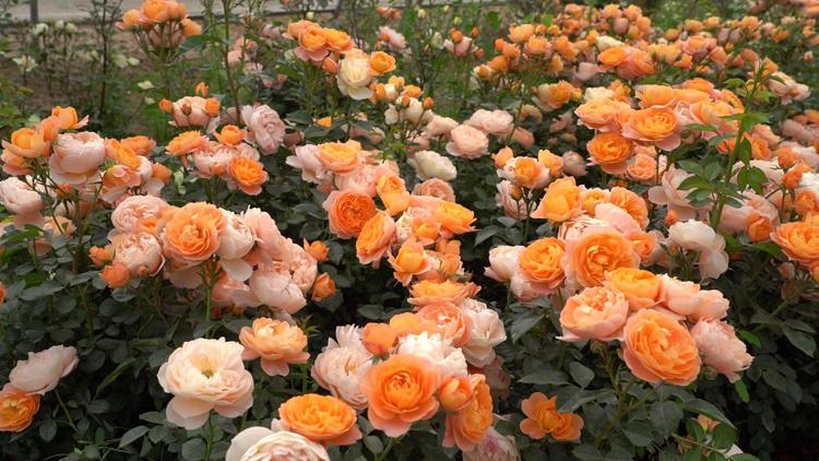 诗画山东|聊城临清:五月夏初月季花开,隔着屏幕都能闻到沁鼻花香