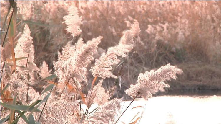 这就是山东丨邂逅冬日暖阳 城阳白沙河畔的芦花原来这么美