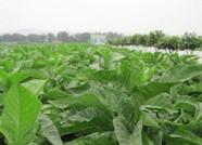 亩均现金收益超2000元!今年山东烤烟种植户收益大幅增加