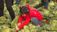 爱心企业与市民联手救急 潍坊菜农一单卖掉2万斤滞销大白菜