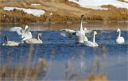 组图 | 看越冬天鹅在威海南海新区的幸福生活