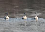 新年伊始 威海文登部分水库迎来大天鹅、小天鹅