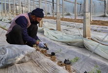 临沭大兴镇统一调购优质西瓜苗有序恢复农业生产