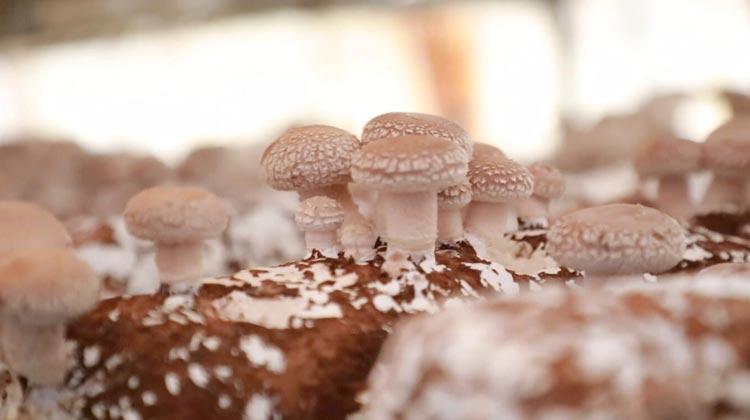 84秒|滨州无棣一合作社10吨香菇面临滞销 定价为三至五元