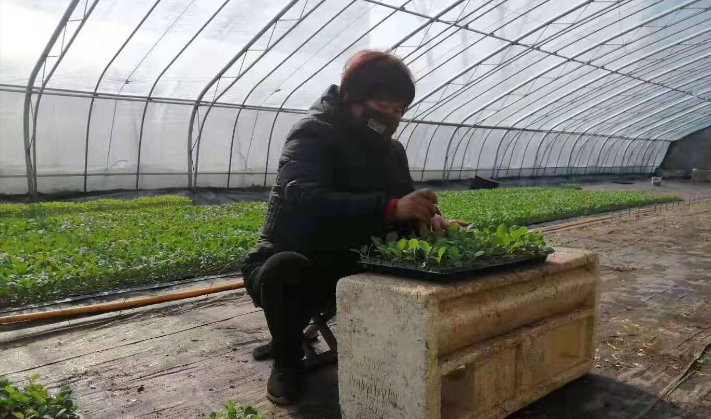 30万株菜花苗即将出棚,泰安育苗能手苏纪岱盼着菜农们有个好收成!