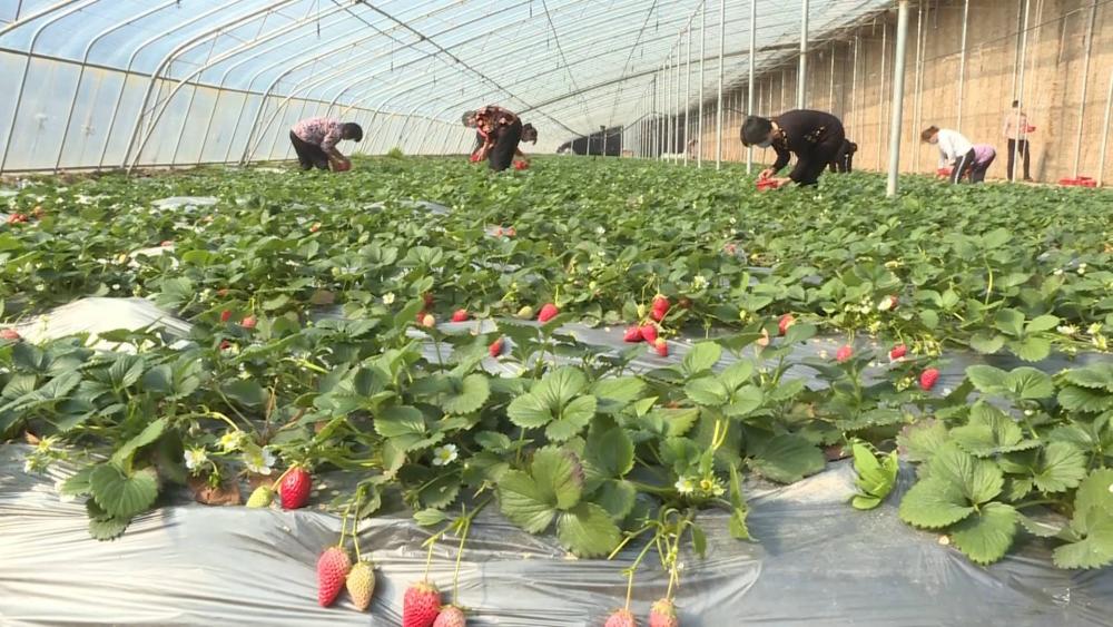 69秒丨线下采摘转线上社区销售  鄄城草莓园突破滞销困境