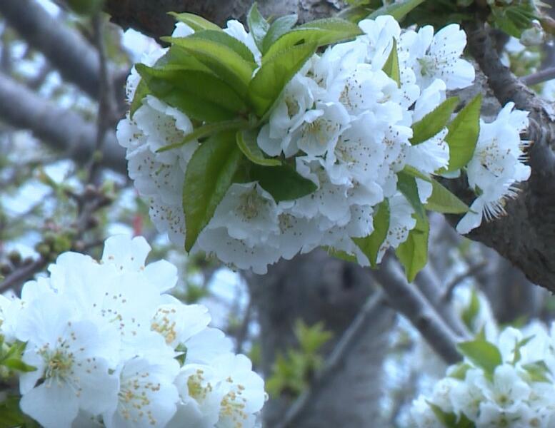 50秒|青州樱桃大棚里春色满园 怒放的樱桃花开满枝头