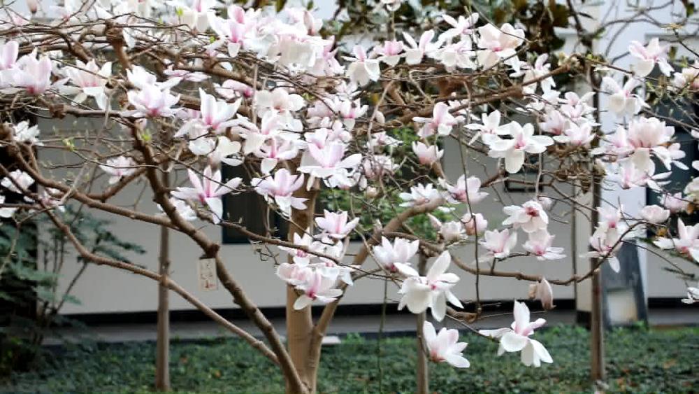 花开春意浓!走,去烟台大学赏花