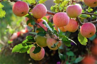 推动苹果产业高质量发展!山东:到2025年,全省苹果种植面积将稳定在400万亩左右