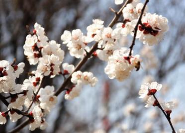 38秒丨春到威海樱花如云绽放