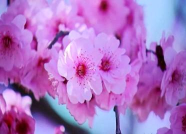 52秒|姹紫嫣红春意浓!潍坊潍城区千株美人梅盛装示人