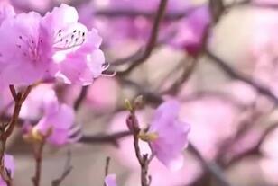 央视《新闻直播间》|青岛大珠山万亩野生杜鹃竞相开放 花期持续到4月中下旬