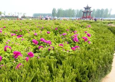 聊城东阿第四届油用牡丹观光节开幕