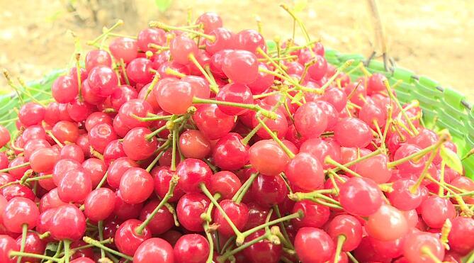 26秒丨日照五莲县松柏镇樱桃成熟季 吸引游客采摘品尝