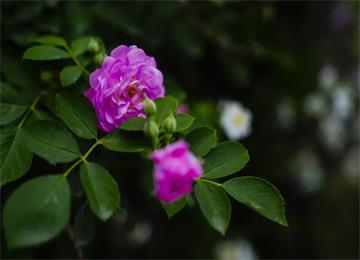 组图丨满架蔷薇一院香,一见倾心,再见倾城~