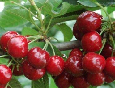 21日起开始,今年乳山的樱桃便民销售点在这里