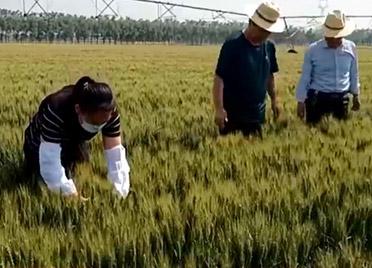 """【牢记嘱托 落实""""四个扎实""""】冬小麦旋耕深松耕作技术预测产亩均增产24.1%"""