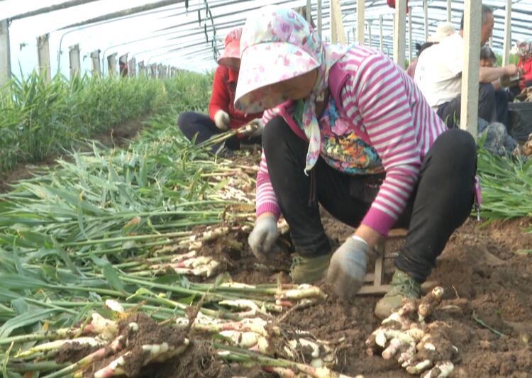 55秒丨潍坊安丘特色红芽姜抢鲜上市 政府强监管畅销路让农民鼓起钱袋子