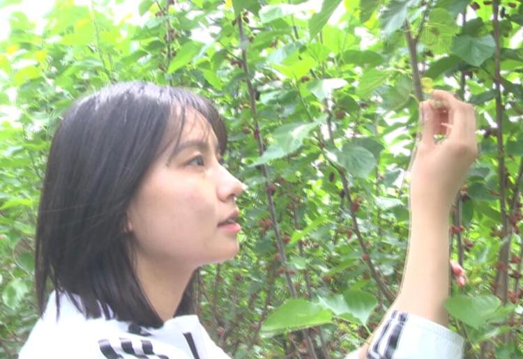 43秒|桑葚采摘正当时,安丘市农旅融合发展,助力乡村振兴建设