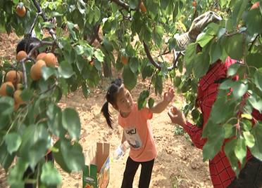28秒|可游可采可食 滨州邹平8000亩水杏进入采摘期