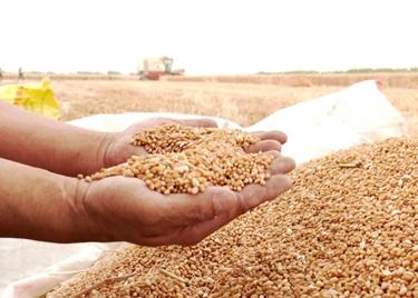 61秒|丰收在望!聊城610.7万亩小麦陆续成熟,农民抢抓农时忙收割