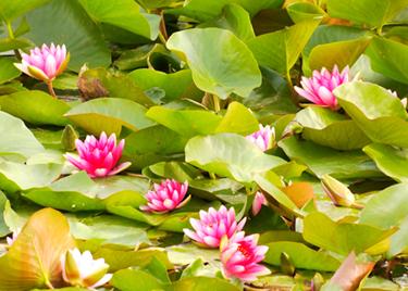 47秒|聊城:盛夏时节好光景,草木葱茏莲花怒放
