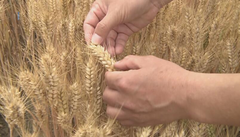 27秒|日照莒县观摩小麦新品种 精选良种促丰收