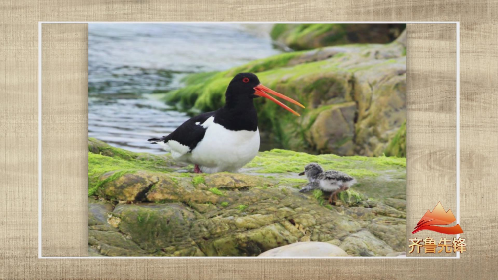 """68秒丨""""鹬蚌相争,渔翁得利""""的""""鹬""""你见过吗?跟着他的镜头看鸟懂鸟爱鸟"""