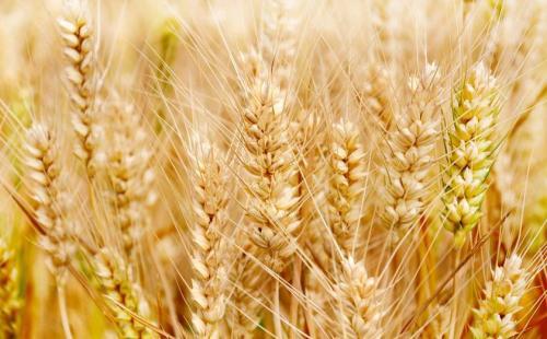 【三夏一线】山东省小麦已收5397.6万亩 占应收面积91.4%