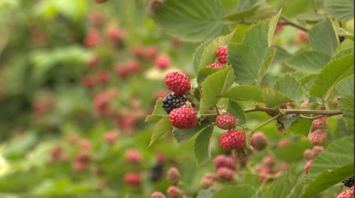 44秒|昔日荒山变果园,枣庄滕州黑莓成熟了