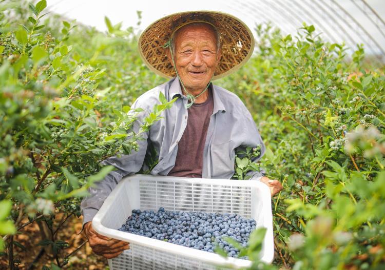 组图丨撂荒地上种上脆甜小蓝莓 威海荣成村民乐享致富果