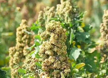 """【山东新闻联播】""""超级谷物""""藜麦在德州齐河大面积种植成功"""
