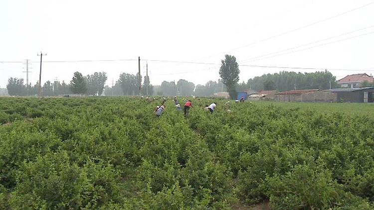 45秒丨培植特色农业 滨州邹平魏桥镇促进农业专业化布局和规模化生产